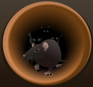 rats-in-pipes